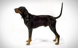 Fekete-cser mosómedvekopó (Black and Tan Coonhound)