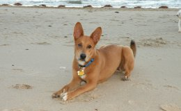 Karolina kutya (Carolina dog)